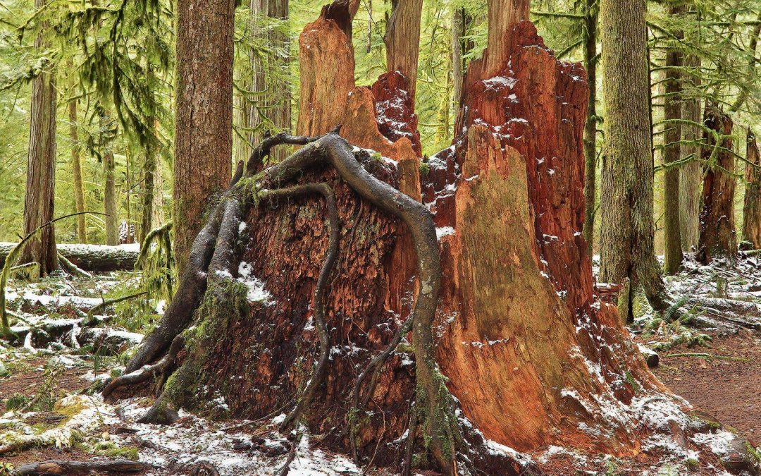 Cathedral Grove by Martin Kasper
